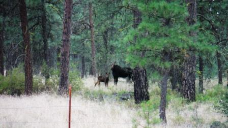 Picture of moose in Turnbull NWR
